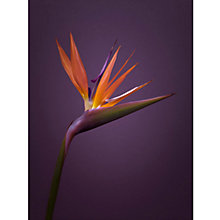 Buy Bird Of Paradise On Purple Online at johnlewis.com