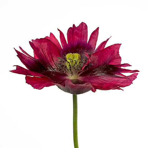 Buy Deborah Schenck - Varied Tulip Online at johnlewis.com