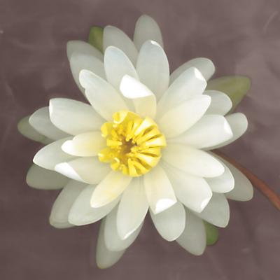 Erin Clark – Water Lily