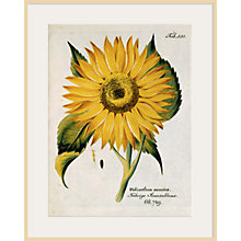 Buy Royal Horticultural Society, Ferdinand Bernhard Vietz - Helianthus Annus Online at johnlewis.com