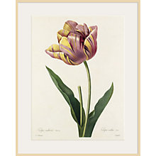 Buy Royal Horticultural Society, Pierre Joseph Celestin Redouté - Plate 142 Online at johnlewis.com