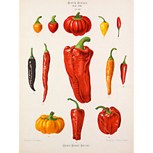 Buy Royal Horticultural Society, Ernst Benary - Tab XVII (chillies) Online at johnlewis.com
