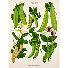Buy Royal Horticultural Society, Ernst Benary - Tab XXIII (pea) Online at johnlewis.com