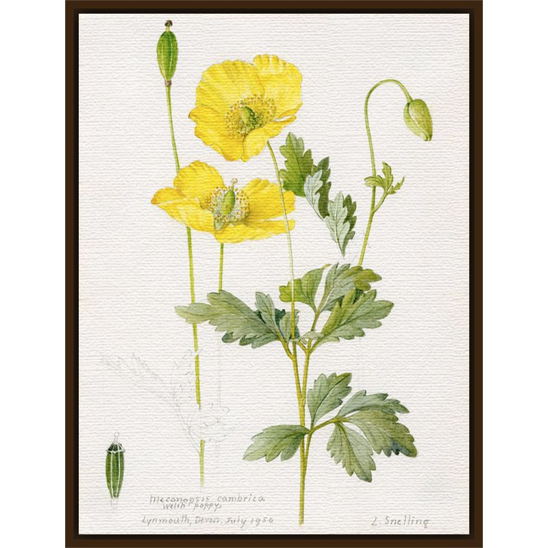 Royal Horticultural Society Royal Horticultural Society, Lillian Snelling - Meconopsis cambrica (Welsh Poppy)