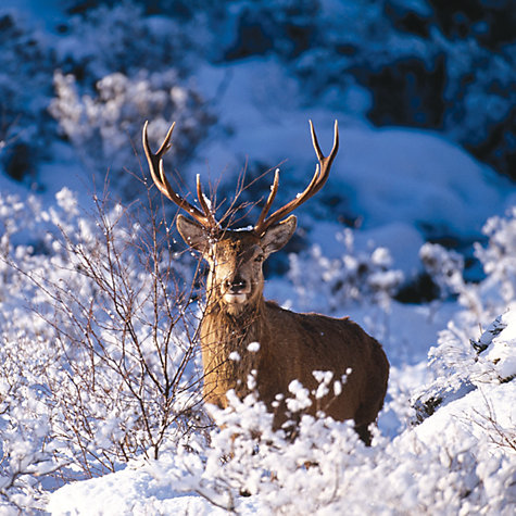 Buy CCA Personalised  Winter's Stag Charity Christmas Cards Online at johnlewis.com