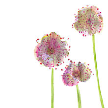 Buy Louise Cunningham - Lilac Allium Online at johnlewis.com