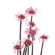 Buy Louise Cunningham - Sepia Daisies Online at johnlewis.com