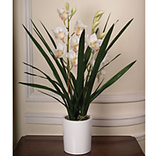 Buy John Lewis Potted Cymbidium, White, Medium Online at johnlewis.com