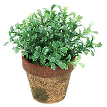 Buy Peony Boxwood Mini Topiary Online at johnlewis.com