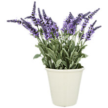 Buy Lavender in a Pot, Small Online at johnlewis.com