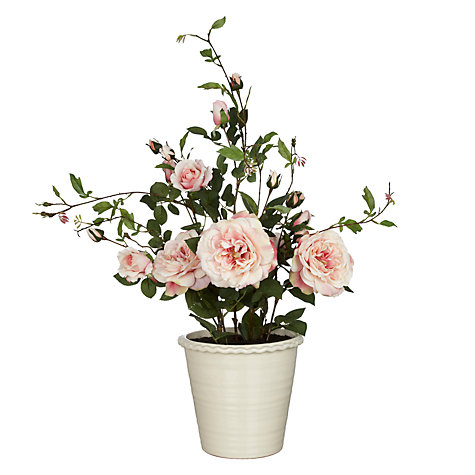 Buy Rose Bush in Pot, Pink, Large Online at johnlewis.com