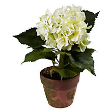 Buy Potted Hydrangea, Cream Online at johnlewis.com