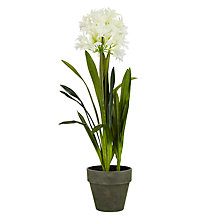 Buy John Lewis Agapanthus Pot Plant, White Online at johnlewis.com