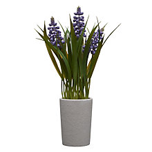 Buy John Lewis Hyacinth Pot Plant, Lavender Online at johnlewis.com