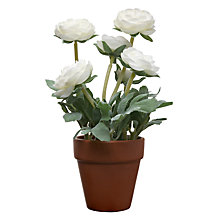 Buy John Lewis Ranunculus Pot Plant, Cream Online at johnlewis.com