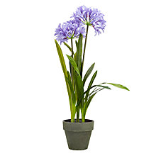 Buy John Lewis Agapanthus Pot Plant, Lavender Online at johnlewis.com
