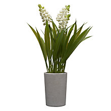Buy John Lewis Hyacinth Pot Plant, Cream Online at johnlewis.com