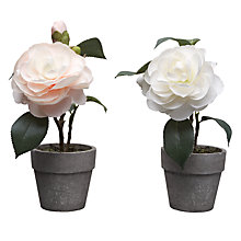 Buy Parlane Mini Camelia Pot Plants, Multi Online at johnlewis.com