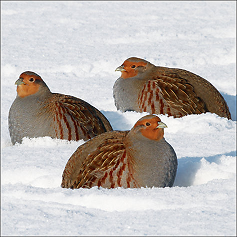 Buy Almanac Trio Of Partridges Charity christmas Cards, Box of 8 Online at johnlewis.com