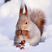 Buy Ling Design Squirrel On The Snow Charity Christmas Cards, Box of 6 Online at johnlewis.com