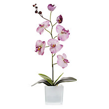 Buy Peony Phalenopsis Orchid, Purple Online at johnlewis.com