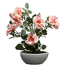 Buy John Lewis Dogwood Rose In Bowl, Small Online at johnlewis.com