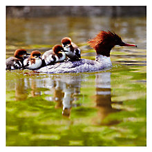 Buy Woodmansterne Ducklings on Mother's Back Greeting Card Online at johnlewis.com