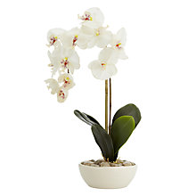 Buy Peony Phalaenopsis Orchid, White Online at johnlewis.com