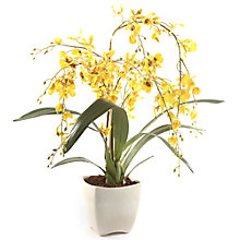 Buy Peony Oncidium Orchid, Yellow Online at johnlewis.com