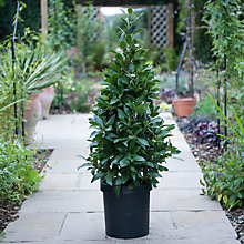 Buy Thompson & Morgan Pyramid Bay Tree Online at johnlewis.com