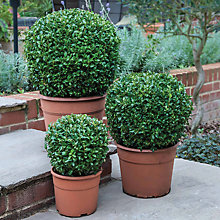 Buy Thompson & Morgan Buxus Spheres, Small Online at johnlewis.com