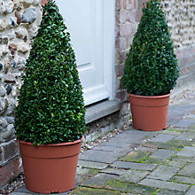 Buy Thompson & Morgan Single Buxus Pyramid Online at johnlewis.com