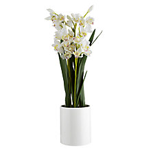 Buy John Lewis Potted Cymbidium, Large Online at johnlewis.com