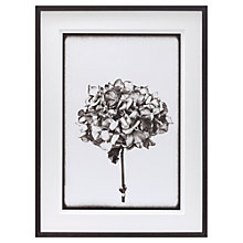 Buy Scott Dunwoodie - Hydrangea Framed Print, 68 x 51cm Online at johnlewis.com