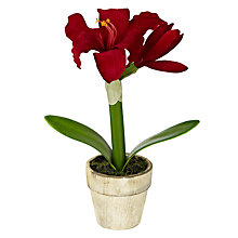 Buy John Lewis Mini Potted Amaryllis Online at johnlewis.com