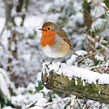 Buy Paper House Robin on Log Charity Christmas Cards, Pack of 6 Online at johnlewis.com