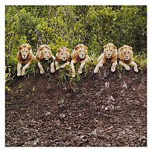 Buy Paperhouse National Geographic Lions at Kleins Greeting Card Online at johnlewis.com