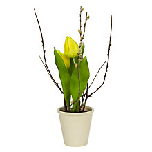 Buy John Lewis Yellow Tulip in Pot Online at johnlewis.com