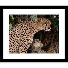 Buy Roger Hooper - Cheetah and Cub Framed Print, 49 x 59cm Online at johnlewis.com