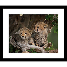 Buy Roger Hooper - Cheetah Cubs Framed Print, 49 x 59cm Online at johnlewis.com