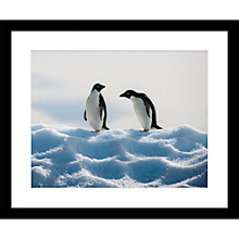 Buy Roger Hooper - Adelie Penguins Framed Print, 49 x 59cm Online at johnlewis.com