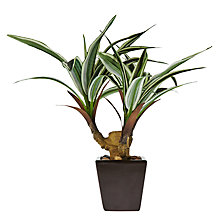 Buy John Lewis Mini Dracaena Bonzai Online at johnlewis.com