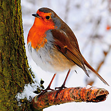 Buy Paper House Robin on a Branch Cards, Pack of 6 Online at johnlewis.com