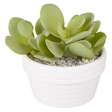 Buy John Lewis Coastal Echeveria in White Pot, H10cm Online at johnlewis.com