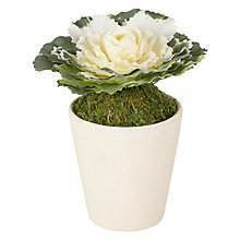 Buy John Lewis Cabbage Rose in Ceramic Pot, Cream Online at johnlewis.com