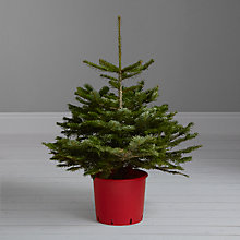Buy John Lewis Nordmann Pot Grown Christmas Tree, 3-4 feet Online at johnlewis.com