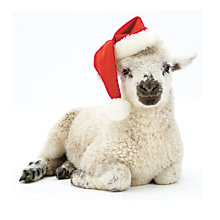 Buy Almanac Little Lamb Charity Christmas Cards, Pack of 8 Online at johnlewis.com