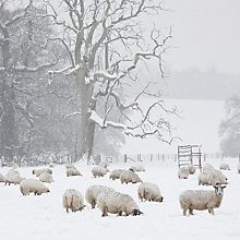 Buy UK Greetings Snowy Sheep Charity Christmas Cards, Pack of 10 Online at johnlewis.com
