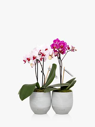 The Little Botanical Mini Orchid Duo