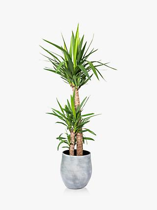 The Little Botanical Extra Large Yucca Ceramic Pot Plant